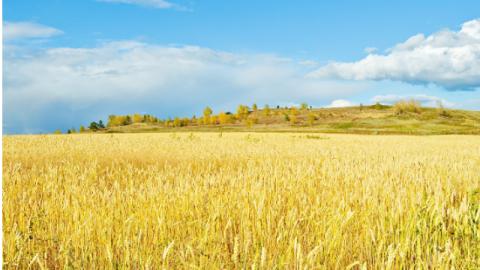 Campo di grani maturi